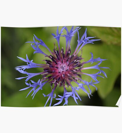 Unusual Blue and Pink Flower Poster