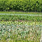 vegetables growing in Hawkes Bay, NZ by Anne Scantlebury