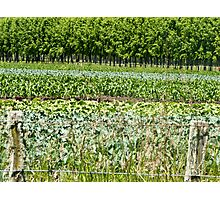vegetables growing in Hawkes Bay, NZ Photographic Print
