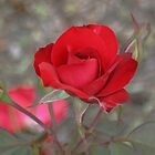 Red Rose in Late Afternoon Sun by STHogan