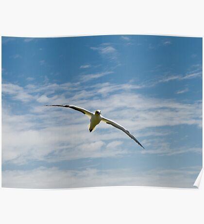 gannet flying 2 Poster