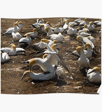 gannets mating Poster