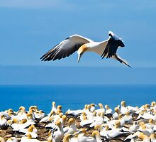 gannet flying over colony, by Anne Scantlebury