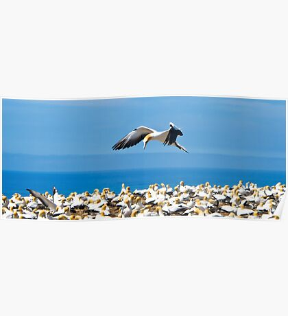 gannet flying over colony, Poster