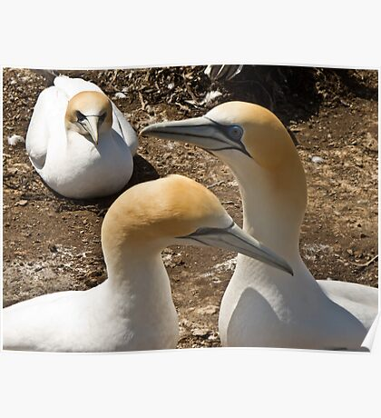 gannet colonythree gannets Poster