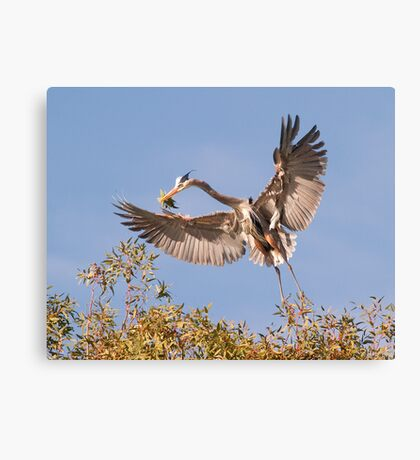 011412 Great Blue Heron Canvas Print