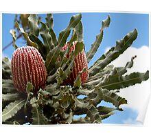 Banksia Menzies Poster