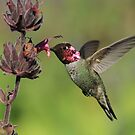 Humming With Fuschia by DARRIN ALDRIDGE