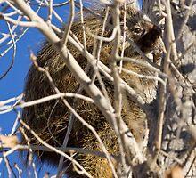 Porcupine by Kim Barton