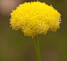 Yellow Pom Pom Flower by Leonie Mac Lean