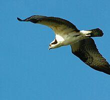 Osprey by Margaret  Shark