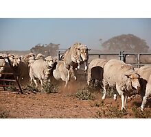 Sheep Olympics Photographic Print