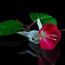 Fuchsias XXXI by Tom Newman