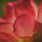 Lotus by KathyT