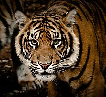 Sumatran Tiger XIII by Tom Newman