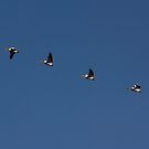 Pelicans in Flight by Lynn Starner