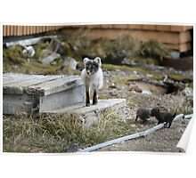 Arctic Fox with pups Poster