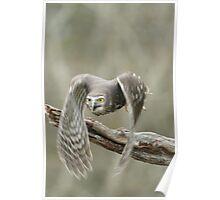 Barking Owl in flight Poster