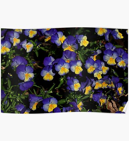 Pansy Patch Poster