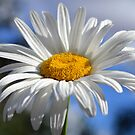 Daisy in the sun by Glenda Williams