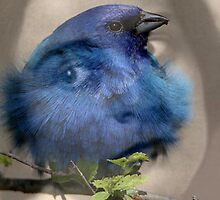 I'm the blue bird by Nightingale