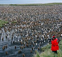 King Penguin colony by michaelpartis