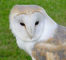 Barn Owl by Raffaele