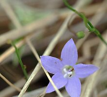 Tiny Blue Flower by STHogan