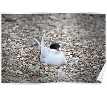 Nesting Arctic Tern Poster