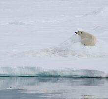 Resting Polar Bear by michaelpartis