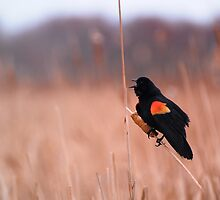 Blackbird Mating Call by Vee Robillard