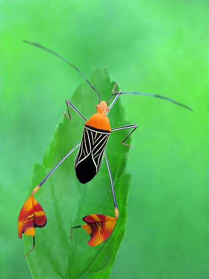 Leaf-footed Bug by jimmy hoffman