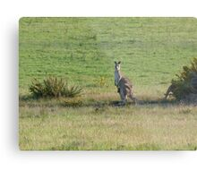 Kangaroos with Joey in her pouch Metal Print