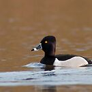 Ring-necked Duck by Michael Mill