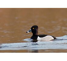 Ring-necked Duck Photographic Print
