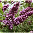 Lilacs by Aase