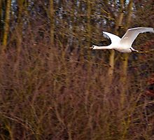 Flight of the Swan by SiClews