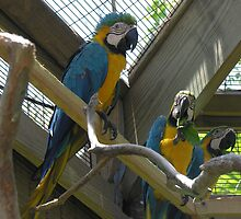 Dominican parrot2 by scaff