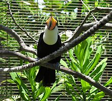 Dominican toucan by scaff
