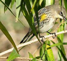 Yellow-rumped Warbler ~ Male Audubon's by Kimberly Chadwick