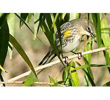 Yellow-rumped Warbler ~ Male Audubon's Photographic Print