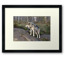 A lone timber wolf  Framed Print