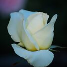 White Simplicity by Carol Clifford