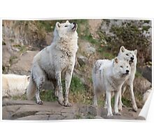 Some Arctic Wolves at play Poster