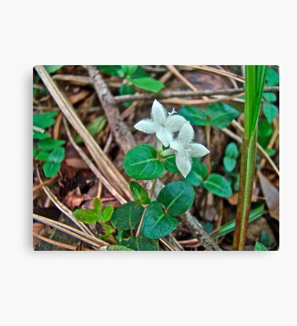 Partridge Berry Flower - Mitchella repens Canvas Print