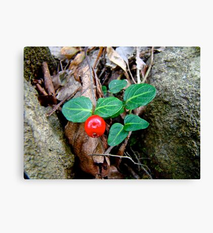 Partridge Berry Berry - Mitchella repens Canvas Print