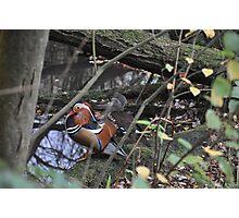 Mandarin and partner Photographic Print