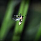 Firefly  by smalletphotos