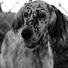 English Setter In B&W...my first sale!! by jodi payne