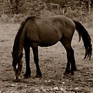 Wild Horse by Vickie Emms